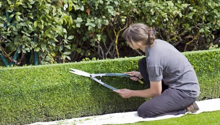 How To Shape Hedges